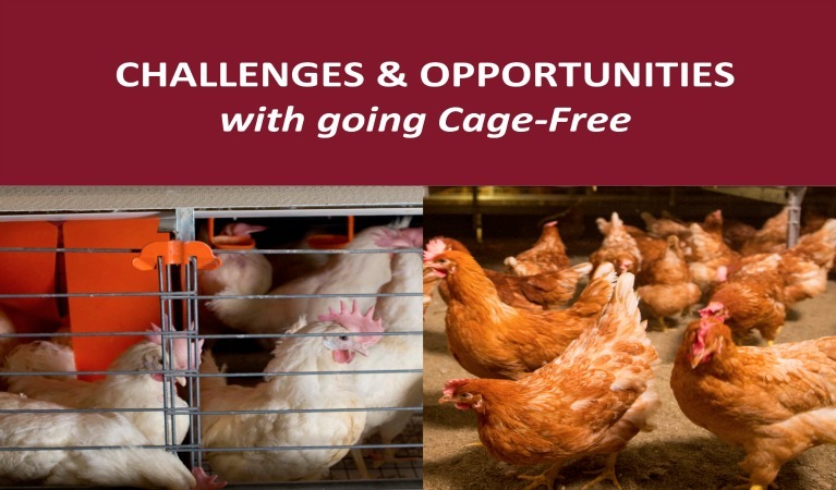 Opposed hen housing photos: Enriched colony and cage-free reading challenges and opportunties with Cage-Free